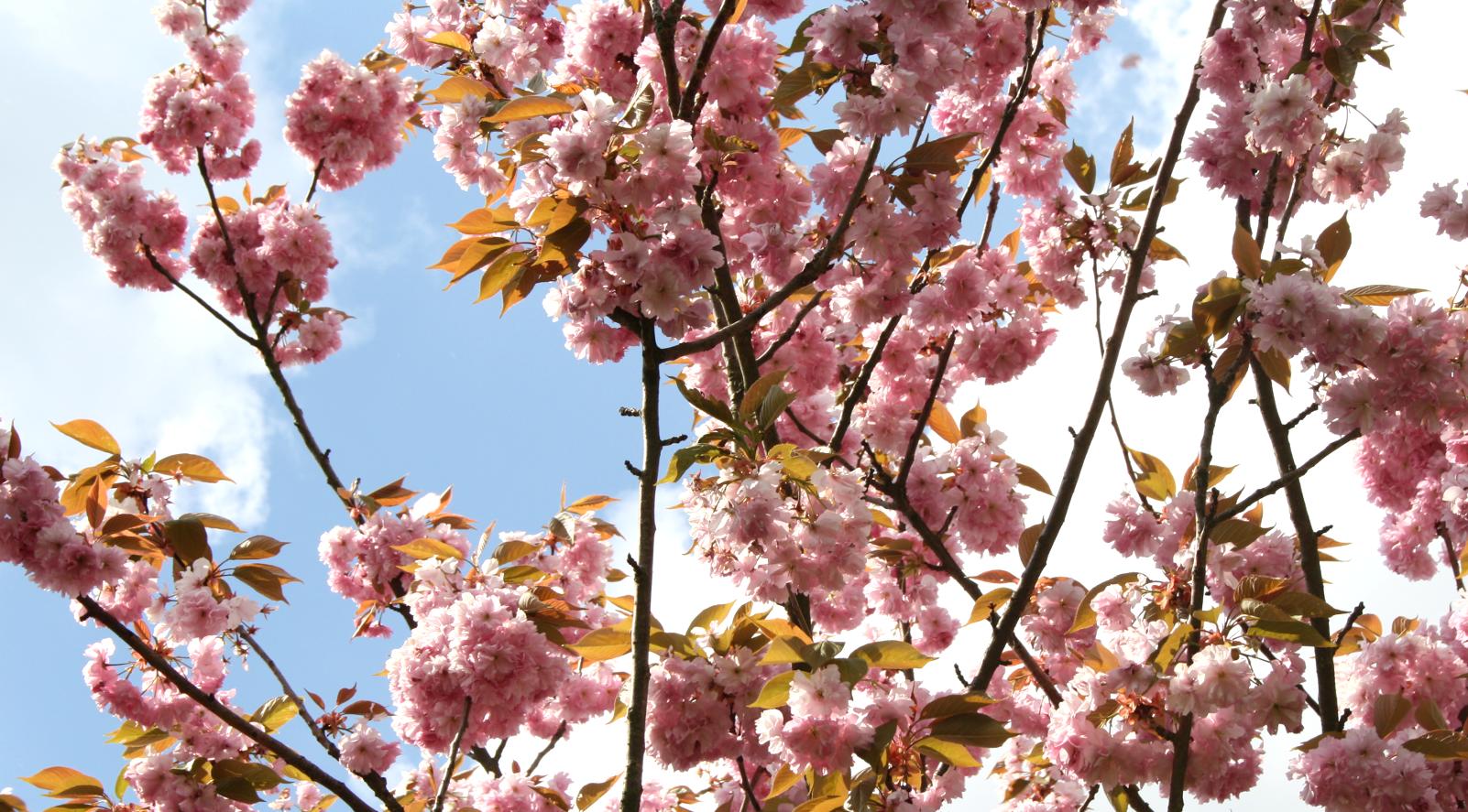 KirschblütentraumBeitragsbild