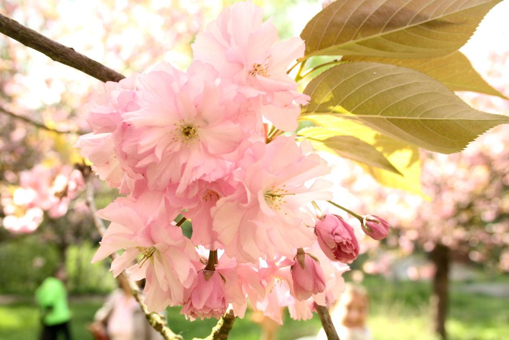 Kirschblütenweg3
