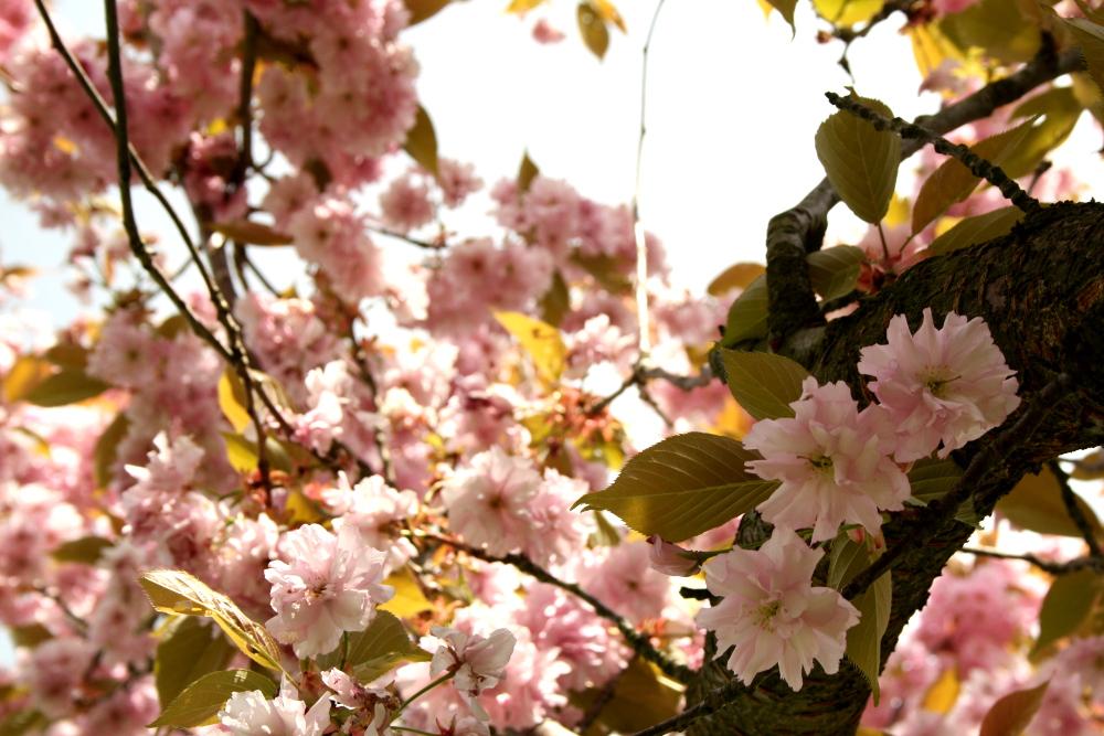 Kirschblütenweg4