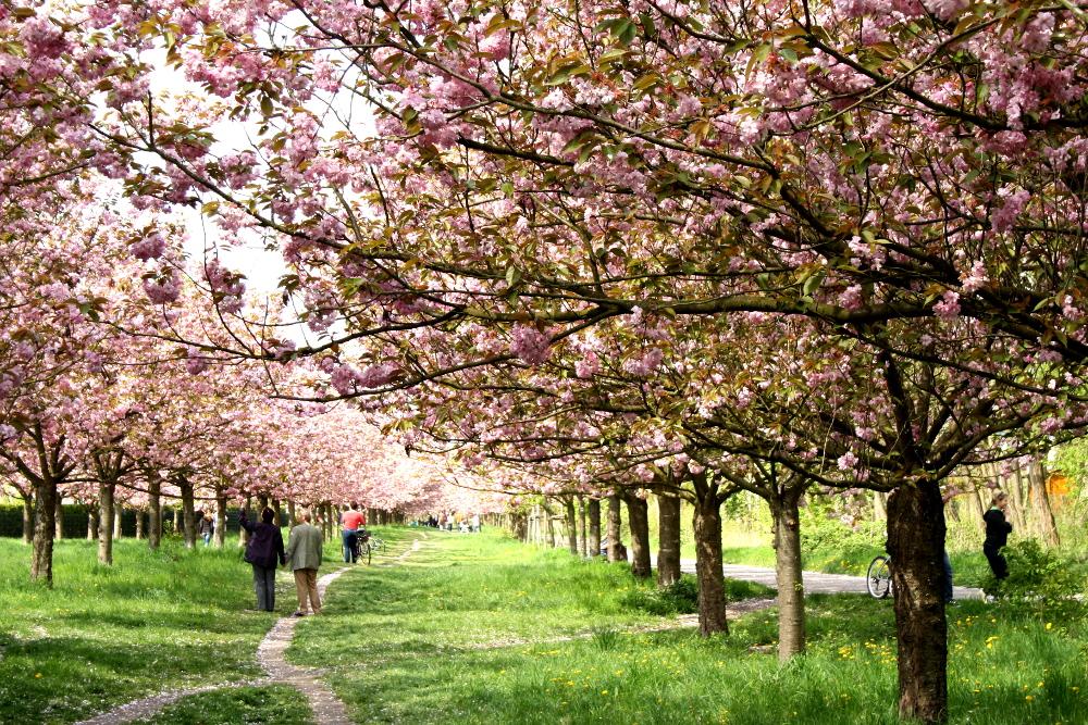 Kirschblütenweg5