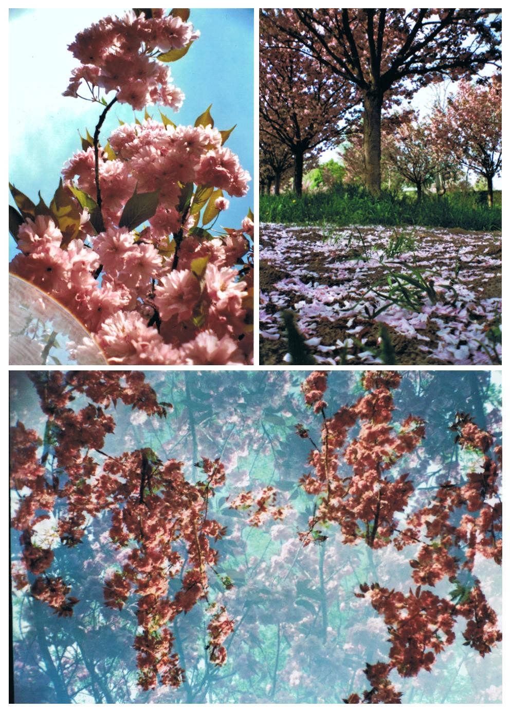 LomoKirschblüten